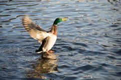 Vuelo del pato Fotografía de archivo libre de regalías