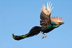 Vuelo del pavo real Fotografía de archivo libre de regalías