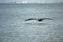 Vuelo del pelícano cerca del océano Fotografía de archivo libre de regalías