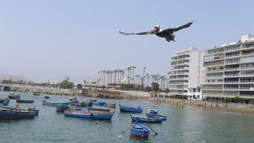 Vuelo del pelícano en el mediados de-aire en Ancon Imagen de archivo