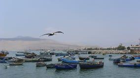 Vuelo del pelícano en el mediados de aire en el Ancon, Lima Imagen de archivo