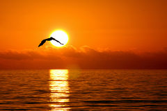 Vuelo del pelícano en puesta del sol Foto de archivo