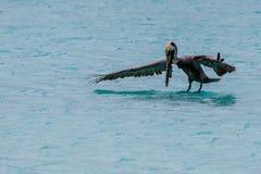 Vuelo del pelícano sobre el mar Foto de archivo libre de regalías