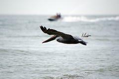 Vuelo del pelícano sobre el océano que compite con un esquí del jet foto de archivo libre de regalías