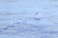 Vuelo del pez volador en el mar Imágenes de archivo libres de regalías