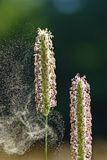 Vuelo del polen Fotografía de archivo libre de regalías