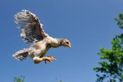 Vuelo del pollo en el cielo Imagen de archivo libre de regalías