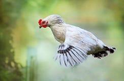 Vuelo del pollo en la naturaleza, gallina Fotos de archivo