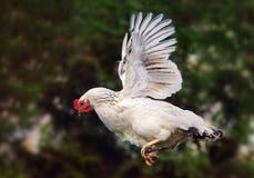 Vuelo del pollo en la naturaleza, gallina Fotografía de archivo