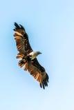Vuelo Eagle Fotografía de archivo