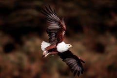 Vuelo Eagle Imagen de archivo libre de regalías