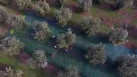 Vuelo en granjeros durante la cosecha verde oliva almacen de metraje de vídeo