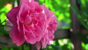 Vuelo enorme de la abeja alrededor de la planta de jardín delicada floreciente rosada maravillosa de la naturaleza de la flor bla metrajes