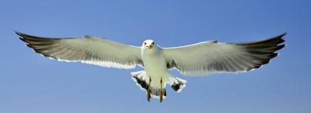Vuelo estirado completo de la gaviota del ala Foto de archivo libre de regalías