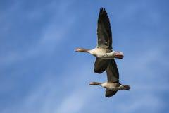 Vuelo Geeses Imagen de archivo libre de regalías