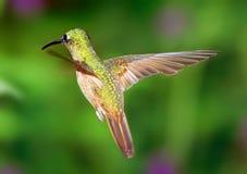 Vuelo gracioso del colibrí imagen de archivo