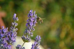 Vuelo hambriento de la abeja en angustifolia verdadero del Lavandula de la lavanda Fotografía de archivo libre de regalías