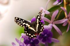 Vuelo hermoso de la mariposa alrededor de las flores Foto de archivo libre de regalías