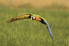 Vuelo hermoso del pájaro en fondo borroso Fotografía de archivo