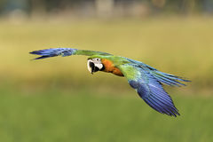 Vuelo hermoso del pájaro en fondo de la naturaleza Imagen de archivo