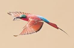 Vuelo hermoso del pájaro, Carmine Bee Eater Foto de archivo
