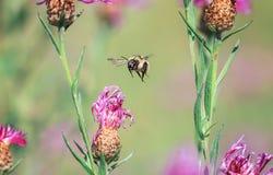 Vuelo lanudo del abejorro alrededor de las flores en un verano solar yo Fotografía de archivo