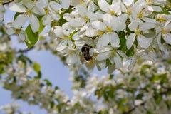 vuelo lanudo grueso del abejorro hacia una rama floreciente del manzano Imagen de archivo libre de regalías