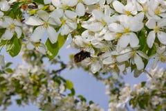 vuelo lanudo grueso del abejorro hacia una rama floreciente del manzano Foto de archivo libre de regalías