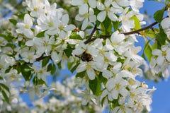 vuelo lanudo grueso del abejorro hacia una rama floreciente del manzano Fotos de archivo libres de regalías