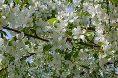 vuelo lanudo grueso del abejorro hacia una rama floreciente del manzano Imágenes de archivo libres de regalías