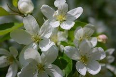vuelo lanudo grueso del abejorro hacia una rama floreciente del manzano Imagen de archivo