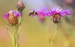 Vuelo lanudo rayado del abejorro alrededor de las flores en un verano s Fotos de archivo libres de regalías