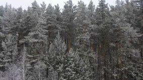 Vuelo lateral aéreo de la baja altitud en bosque del pino del invierno almacen de metraje de vídeo