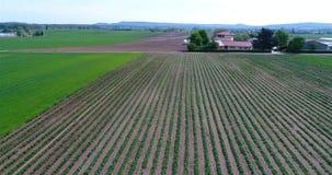 Vuelo a lo largo de las filas de la fresa en el campo Mañana en la granja hermosa de la fresa Visión aérea sobre la plantación gr metrajes