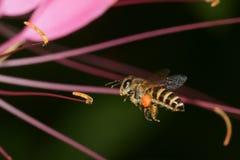 Vuelo macro de la abeja de la miel Imagenes de archivo