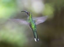 Vuelo magnífico del colibrí, savegre, Costa Rica Fotografía de archivo libre de regalías