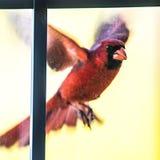 Vuelo masculino cardinal del pájaro en el vidrio casero de la puerta fotos de archivo libres de regalías