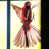 Vuelo masculino cardinal del pájaro en el vidrio casero de la puerta fotos de archivo