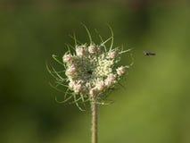 Vuelo minúsculo de la abeja hacia una flor Imagenes de archivo