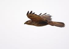 Vuelo mojado del halcón en lluvia Foto de archivo libre de regalías