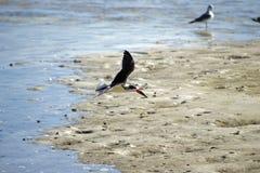 Vuelo negro de la desnatadora sobre la arena Foto de archivo libre de regalías