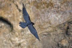 Vuelo negro del cuervo Imágenes de archivo libres de regalías