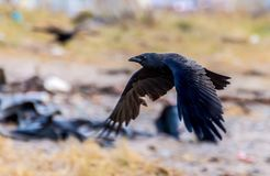 Vuelo negro del cuervo con las alas en la posición de abajo fotos de archivo