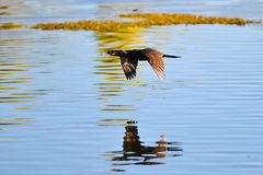 Vuelo negro del pájaro Foto de archivo