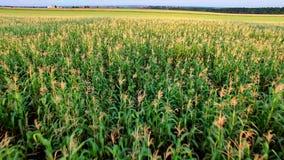 Vuelo a Quadrocopters sobre un campo del maíz almacen de video