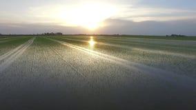 Vuelo que pasta en los campos del arroz metrajes
