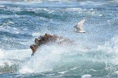 Vuelo rápido de la golondrina de mar Fotografía de archivo