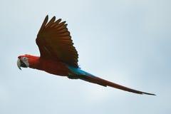 Vuelo rojo del macaw en el cielo Foto de archivo