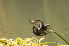 Vuelo salvaje de la paloma Foto de archivo