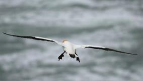 Vuelo salvaje del gannet en la costa de Muriwai foto de archivo